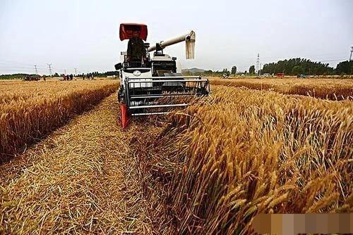 """""""风吹麦浪""""小麦价格大踏步进入1.2元时代,这是为何?"""