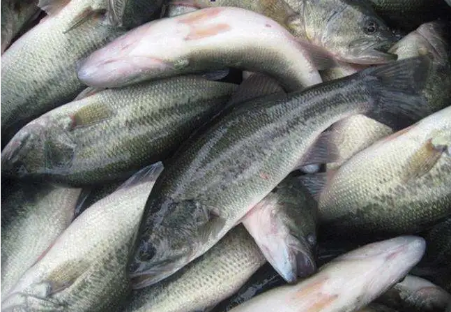 加州鲈鱼高效生态养殖模式,病害频发怎样科学有效防治?