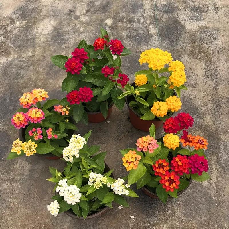 """8种花真漂亮,却被列为""""入侵植物"""""""