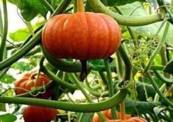 南瓜种植怎么提高产量?