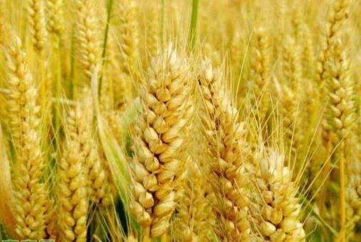 2020年7月份全国小麦价格最新行情预测及走势分析