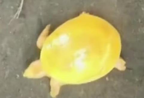 印度渔民发现金色乌龟:是什么品种?乌龟养殖该怎样选择种龟?
