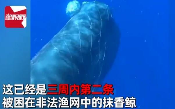 10米长抹香鲸遭渔网困住怎么回事?解救长达一天仍失败