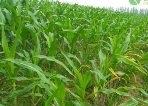 玉米种子怎么选购?种植玉米还需要注意什么?