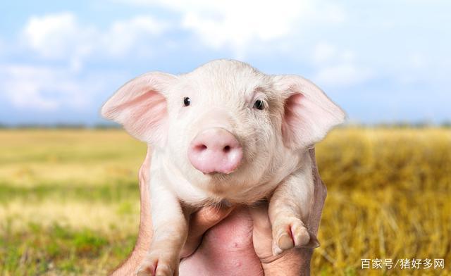 仔猪价格居高不下,养猪户要注意仔猪背后问题