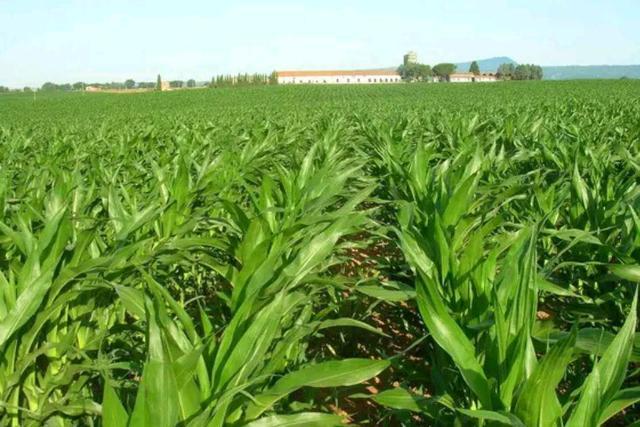 夏玉米种植小知识,用药控制分时机