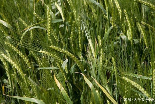 用对了科学方法,增产增收在现在,种小麦的一定要看