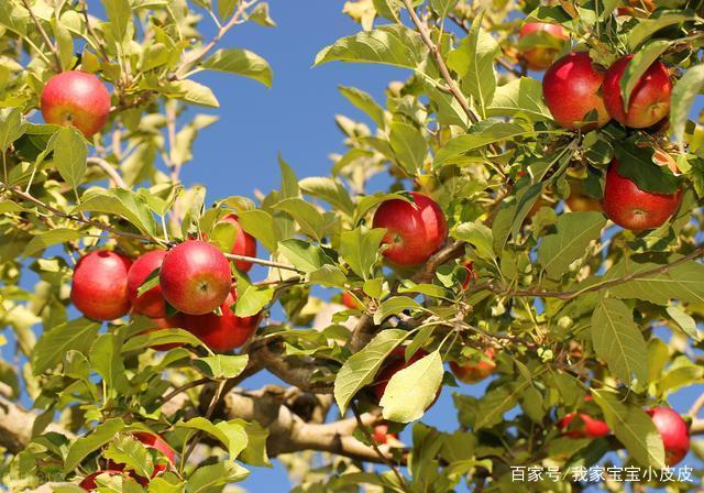 当前气候下,苹果开花期的防护措施及解决方法