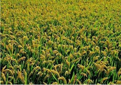 水稻增产又增量,全靠它来帮忙