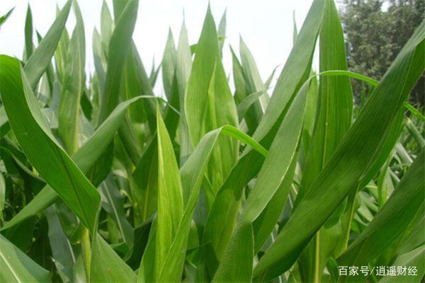 玉米价格行情一片大好,是因为什么呢???