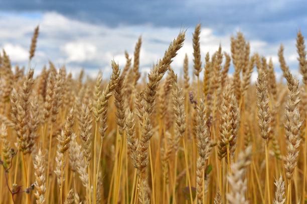 国内小麦价格走势良好,预期会上涨