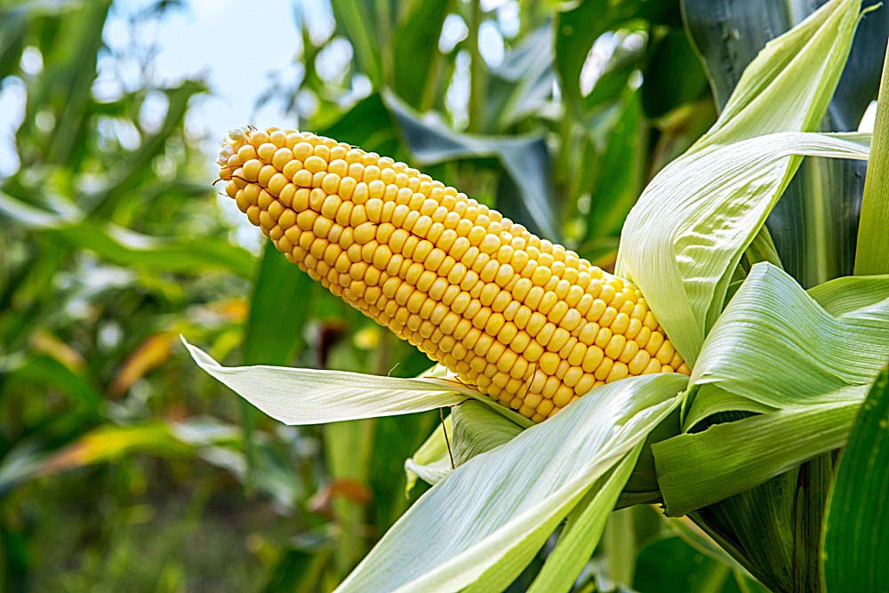 粮价要跌?玉米,大豆价格反映最明显