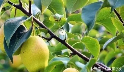 掌握这几点技巧,你种的梨子会又大又甜
