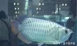 喜欢养银龙鱼的看过来,养鱼可是要有学问的
